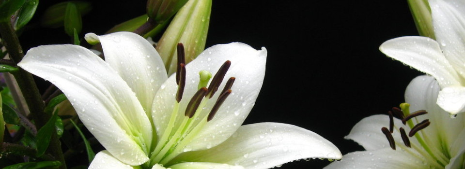 lily4