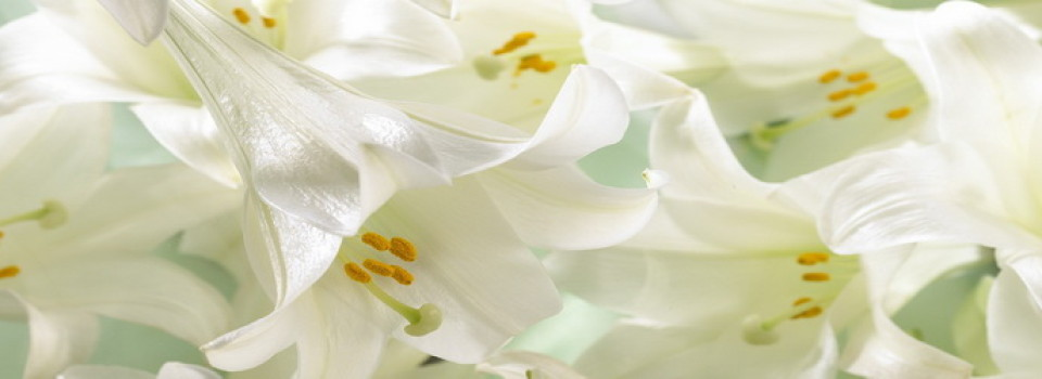 easter-lilies_banner